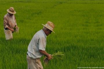 La arremetida estadounidense contra el arroz