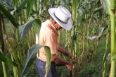El Maíz colombiano