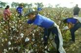Destejiendo  la competitividad: el algodón en Colombia